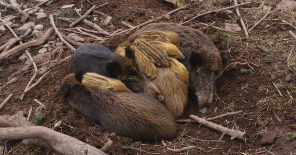 Vadmalacok a sárban alszanak és játszanak.