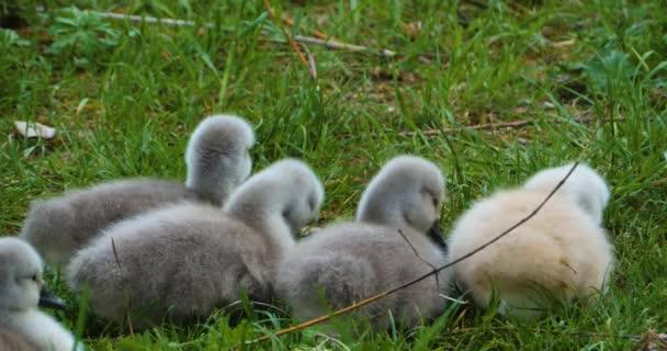 eine Gruppe von Cygnets oder Babyschwänen, die im Gras sitzen