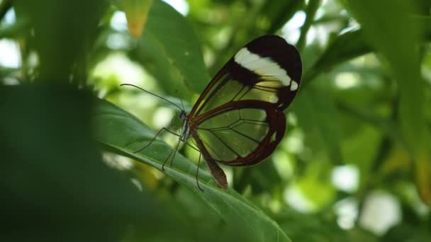 Greta oto, az üvegszárnyú pillangó, csukódó és kitáró szárnyak