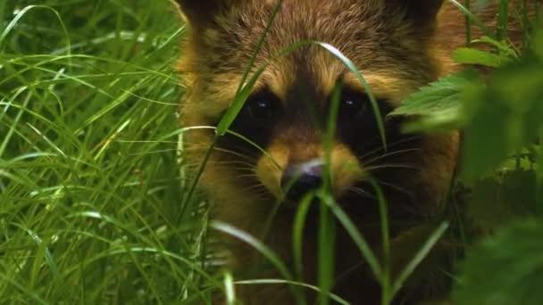 Mangut, or raccoon dog, close up of face