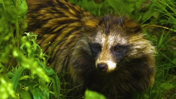 Mangut, or raccoon dog, close up of face