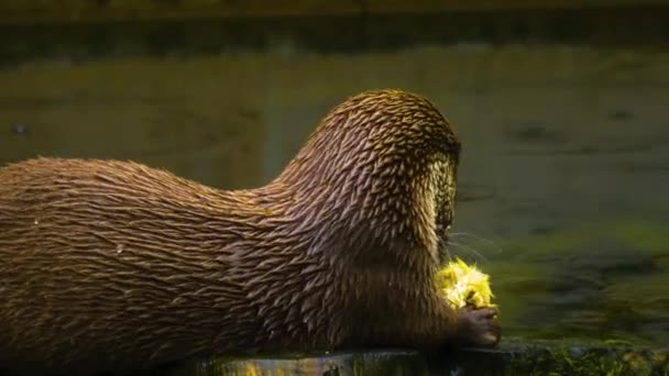 Close up of river otter eating a chick beside a lake