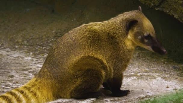 Ein Nasenbär sitzt und schaut nach rechts. Es bewegt den Kopf.