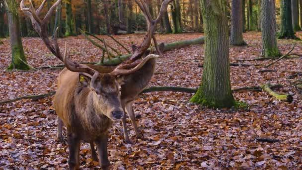 Detailní záběr na jelena jelena jelena na podzim prohledávání země