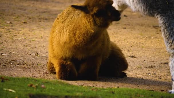 Lama und Alpaka kämpfen. Lama beißt Alpakas ins Bein.