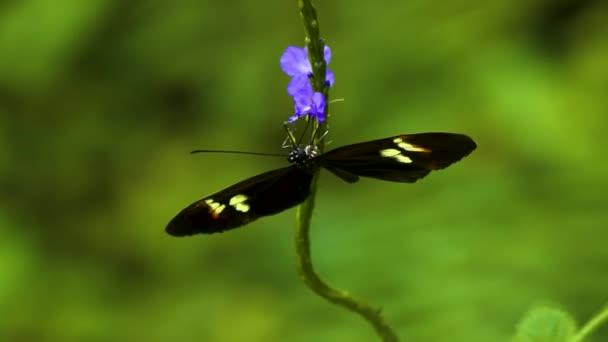 Fekete, fehér és piros pillangó nektárt gyűjt lila virágra, mint elrepül..