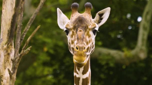 Közelről zsiráf fej úgy néz ki, mintha beszél