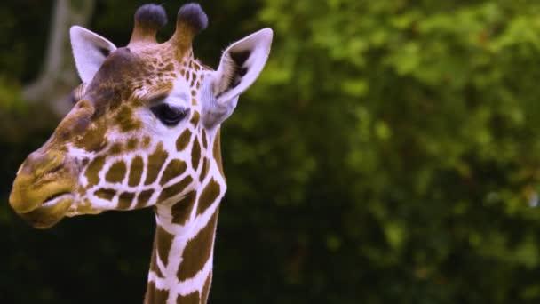 Zblízka to vypadá, že žirafa mluví.