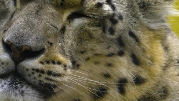 Close up of snow leopard head with light rain on a day in autumn.