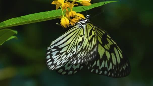 Strom nymfa motýl na květině ze strany sbírá nektar.