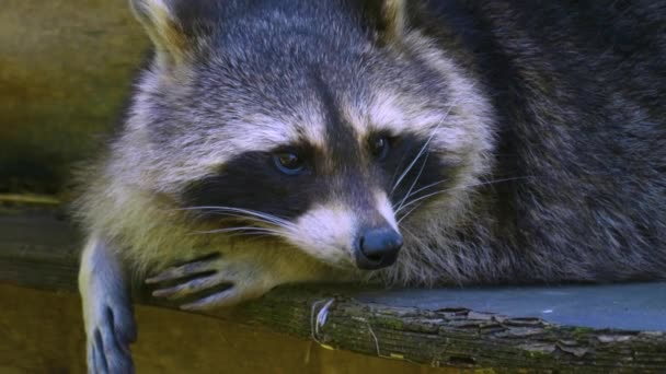 Close up of raccoon resting and looking around