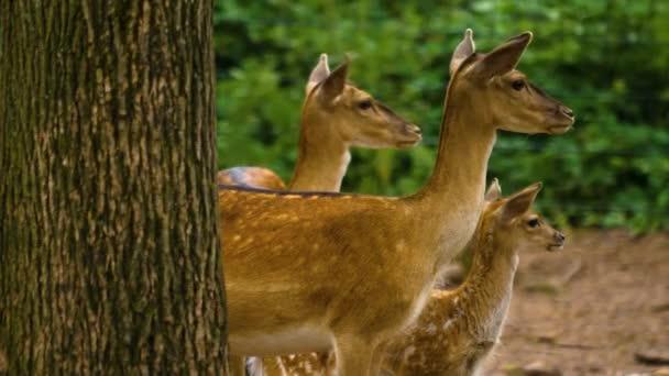 Nahaufnahme von Damhirschen im Wald an einem sonnigen Tag