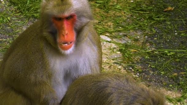 Muž a žena Macaque sedí spolu a muž zívá,