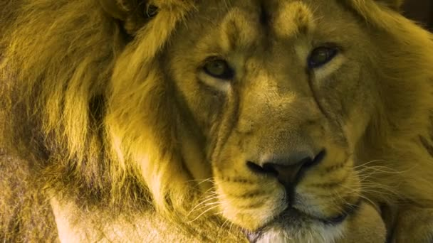 Adult male lion laying down and than falls asleep.