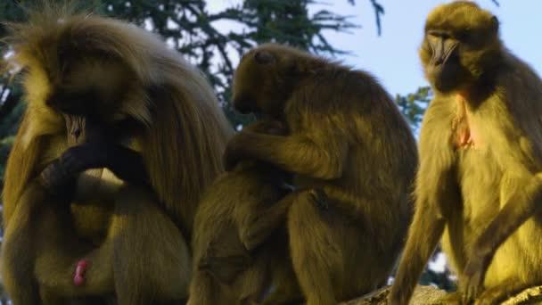Bleeding heart monkeys group sitting on a rock