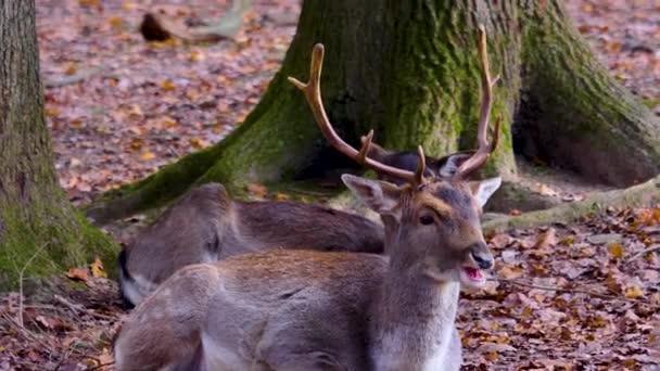 Zblízka přehrady jelena v lesích za slunečného podzimního dne.