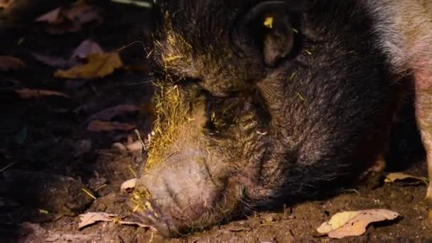 Közelkép egy Pot-Bellied Disznófejről, aki ősszel piszokban kutatott a mocsokban.