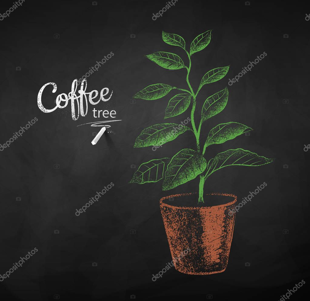 Chalk drawn sketch of coffee tree sprout