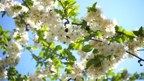 blossoming cherry tree with white flowers and honey bee gathers nectar