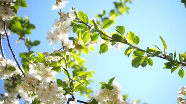 kvetoucí třešeň s bílými květy a zelenými listy ve slunečný den