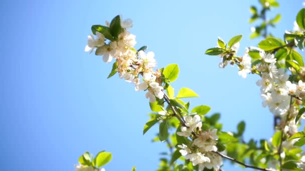 kvetoucí třešeň s bílými květy a včelí med sbírá nektar