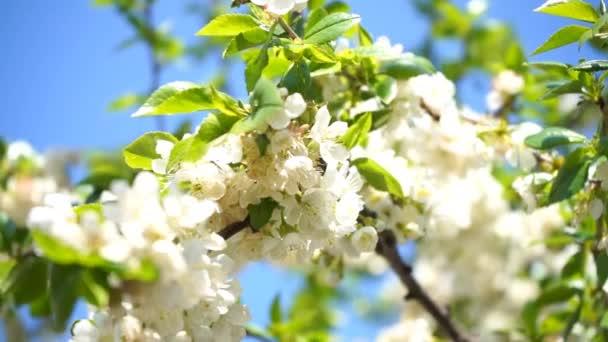 virágzó cseresznyefa fehér virágokkal és zöld levelekkel a napsütéses napokon