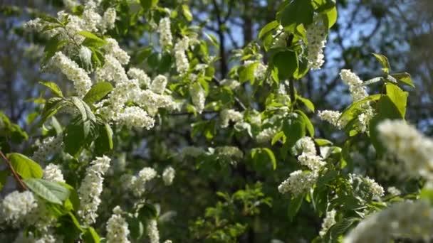 kvetoucí ptačí třešeň s bílými květy a zelenými listy v slunečném jarním dni