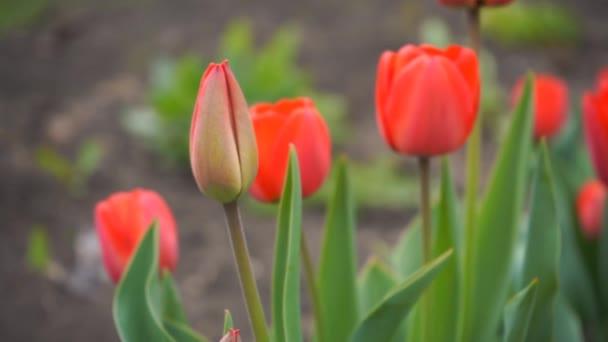 červené tulipány v zahradě, pomalé záběry
