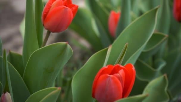 piros tulipán a kertben, lassított felvétel
