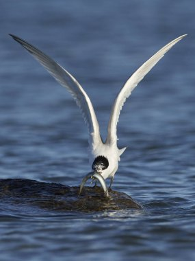 Sandwich tern in its natural habitat in Denmark