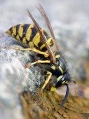 Makro fotografii společného Wasp