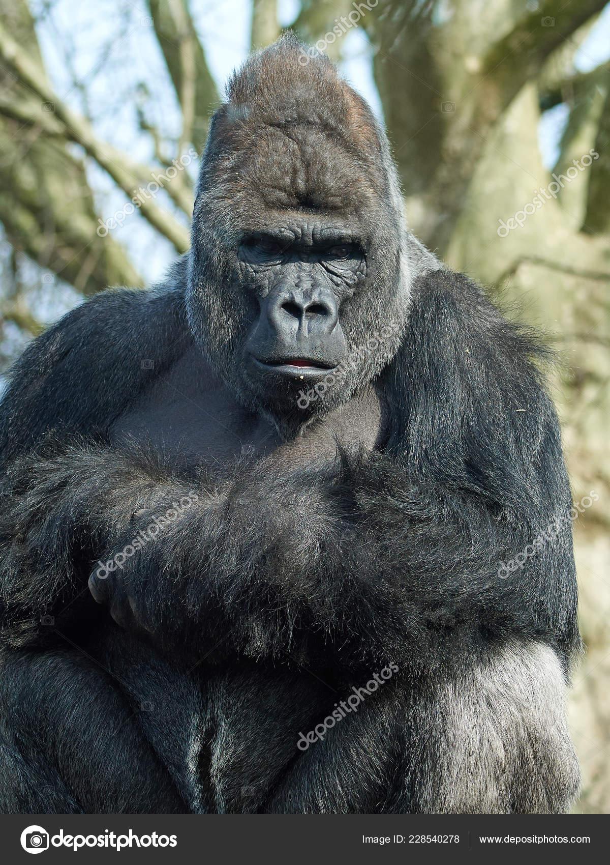 88f25866dd143 Portrait Western Gorilla Vegetation Background — Stock Photo ...