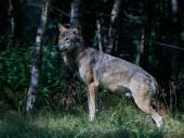 Šedý vlk (canis lupus)