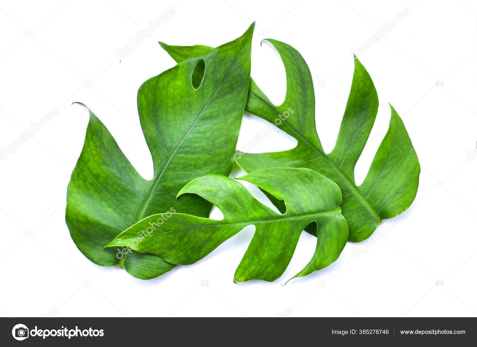 depositphotos 385278746 stock photo monstera leaf isolated white background