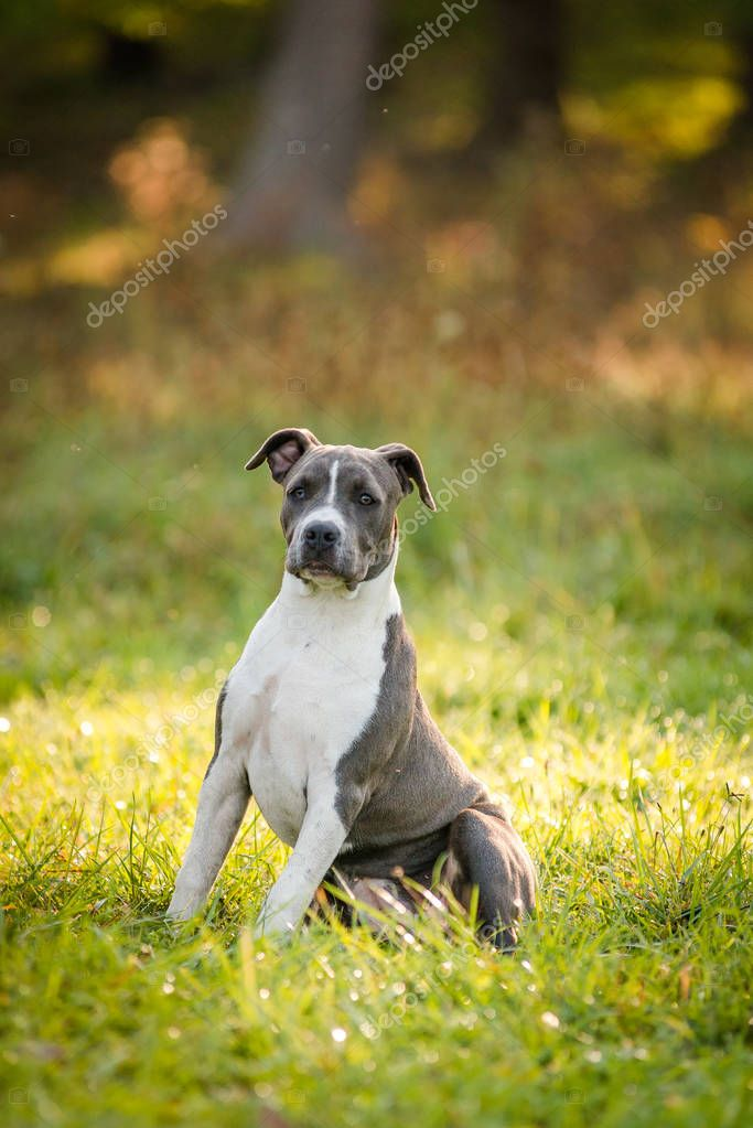 puppy staffordshire terrier walks in the park in the autumn morning