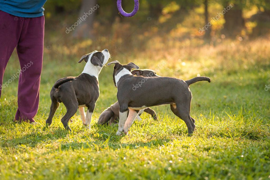 a man walks with puppies Staffordshire Terrier in the park in the autumn morning