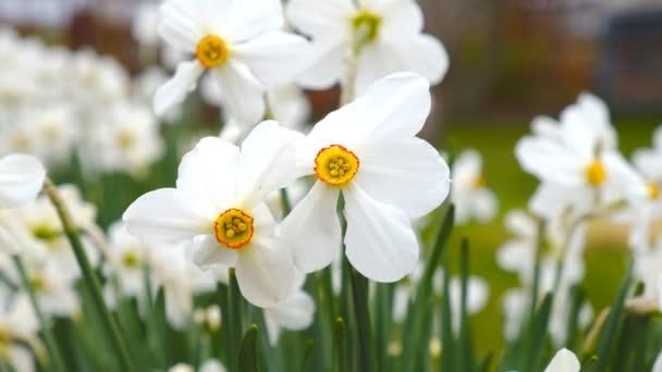 Narcisy kvetly na jaře na zahradě.