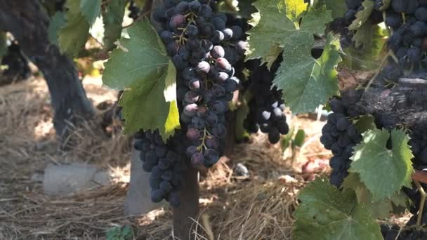 kék szőlő érik a szőlő