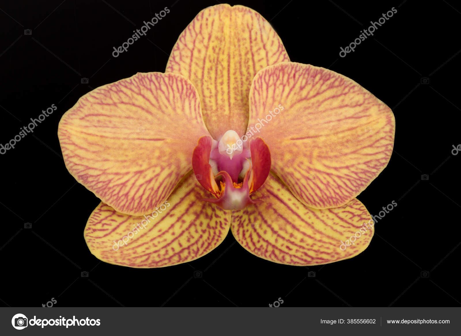 Bunga Tunggal Elegan Dari Anggrek Phalaenopsis Putih Terisolasi Pada Latar Stok Foto C Mc Atolye 385556602