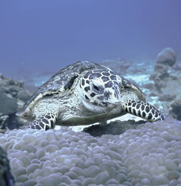 Underwater photo of a Hawksbill Turtle from a scuba dive at Phi Phi Islands  in Thailand.