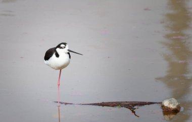 stilt standing on 1 leg in a lake