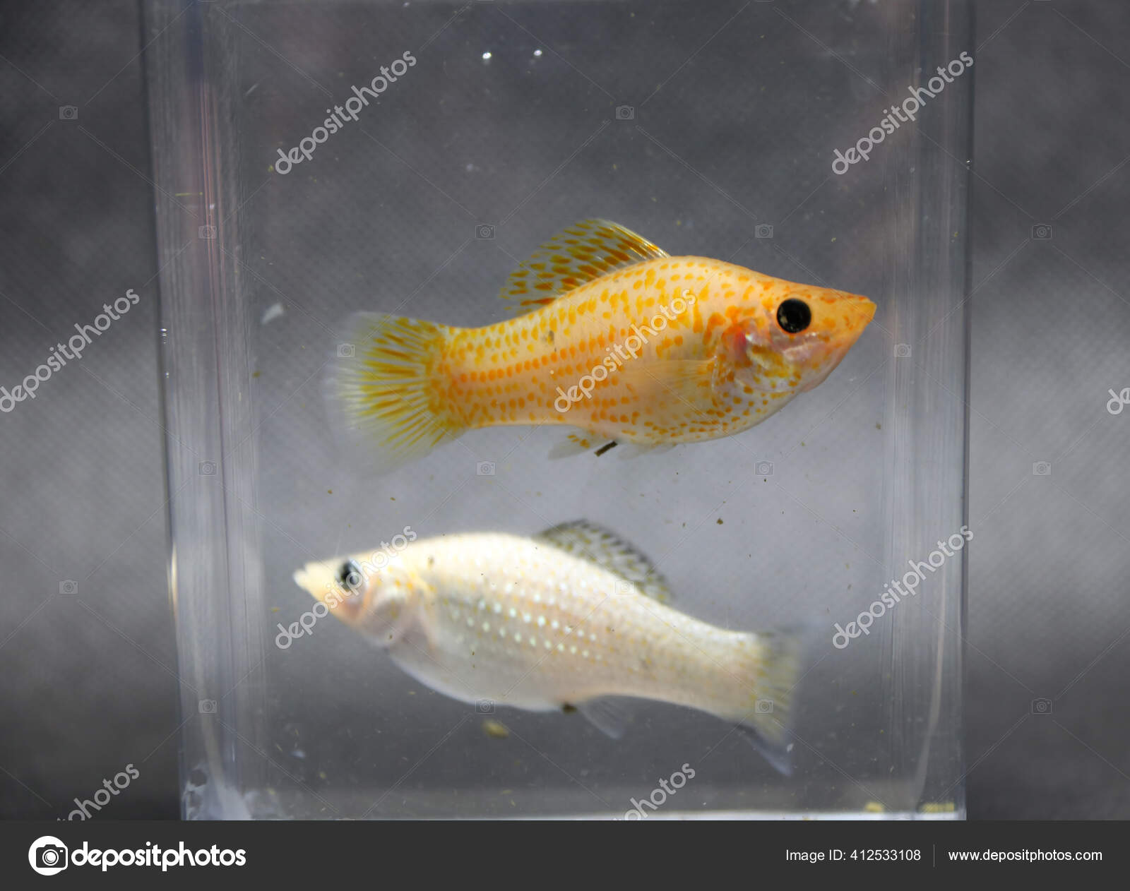 Áˆ Molly Fish Stock Images Royalty Free Molly Pictures Download On Depositphotos
