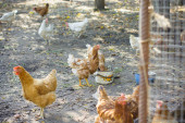 Hens in the village at countryside