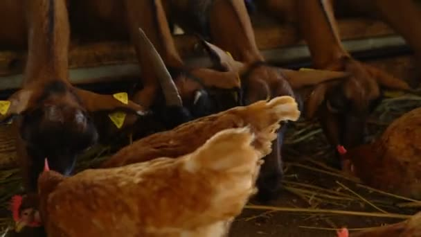 On A Goat Farm Chickens And Goats Stock Video Bigguns 210135314