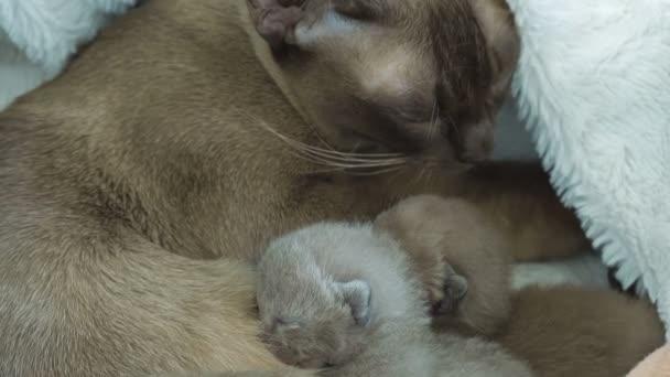 Barmská kočka krmení novorozence koťata