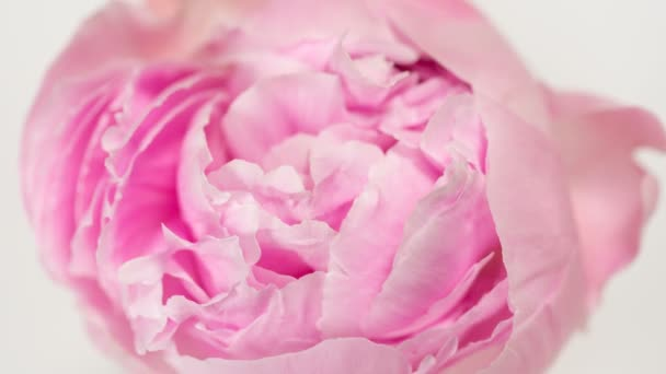Blooming pink peony flower time lapse