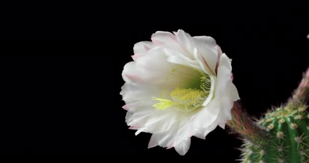 A kaktusz virágzó életciklusa a rügytől a virágig