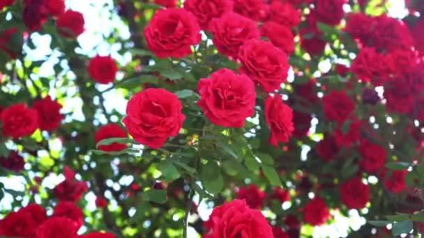 Banda rozkvetlých rudých růží na růžovém stromě během slunečného dne v Manali, himachal pradesh - zblízka, klouzavý výstřel