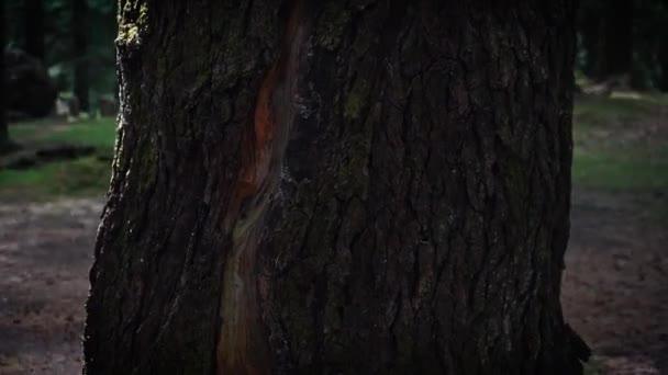 Rychlý kruhový záběr věčně zelené kůry stromů