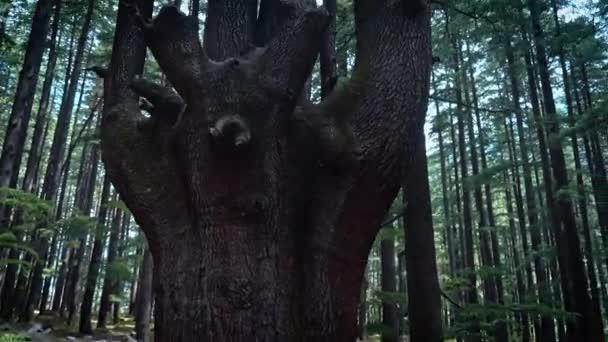 Ein einzigartiger immergrüner Baum mit 4 Rinden in einem hoch aufragenden Baum